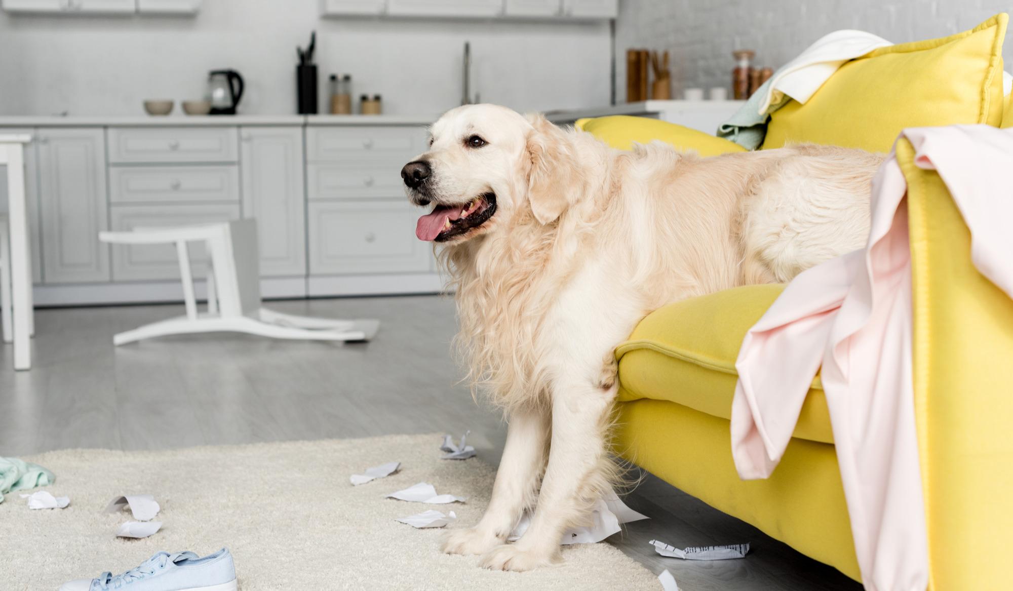 Golden retriever in a dirty apartment