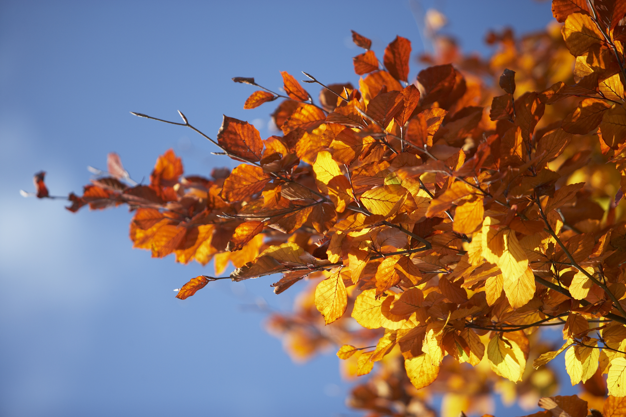 Orange Leaves On A Tree In Autumn